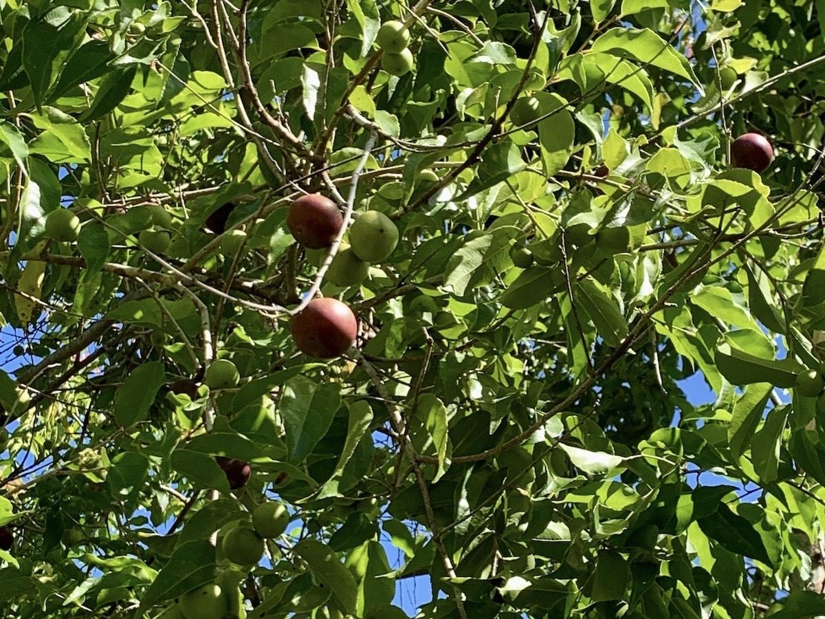 prune du gouverneur